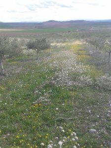 Flores en el Olivar - Noticias Ecológicos Aranda