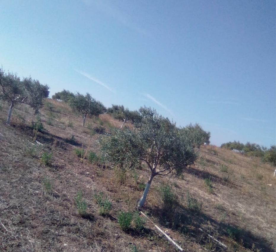 Cabecera Preparación del olivar para la recogida - Noticias Ecológicos Aranda