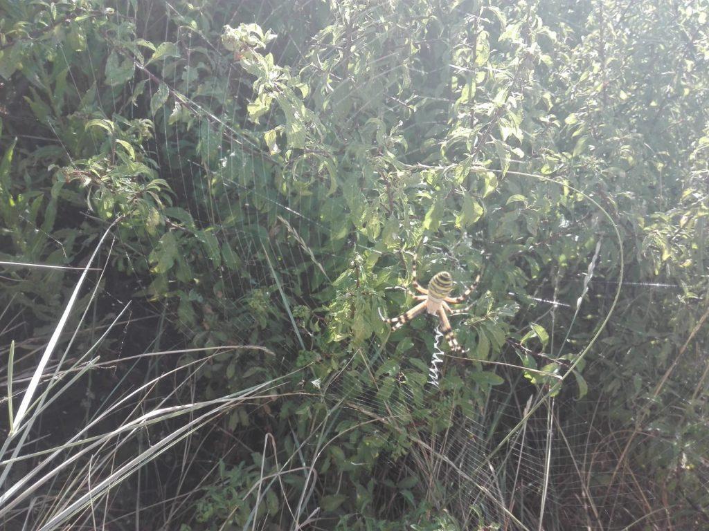 Araña en la recogida de la oliva 2018 - Noticias Ecológicos Aranda