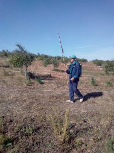 Foto 1 Preparación del olivar para la recogida - Noticias Ecológicos Aranda