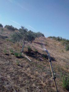 Foto 3 Preparación del olivar para la recogida - Noticias Ecológicos Aranda