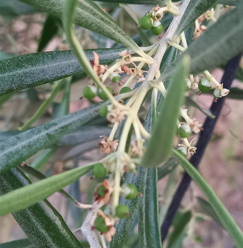 Cabecera Fase de floración y cuajado - Noticias Ecológicos Aranda